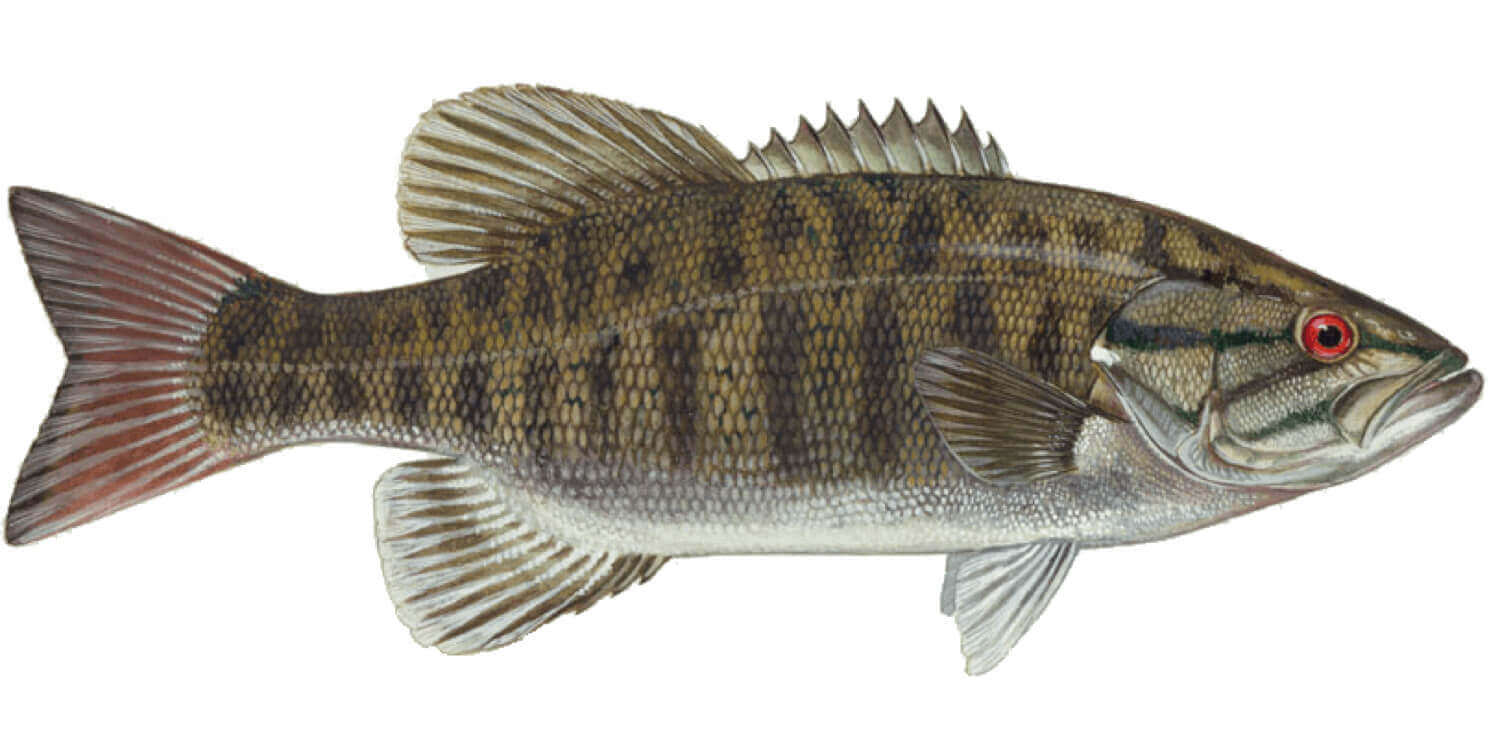 Smallmouth-Bass