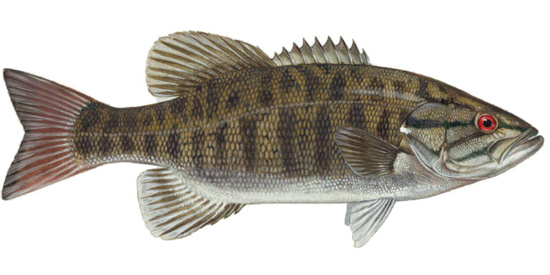 Smallmouth-Bass
