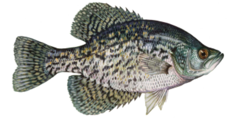 Black-Crappie-Fish