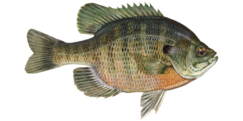 Bluegill-Fish
