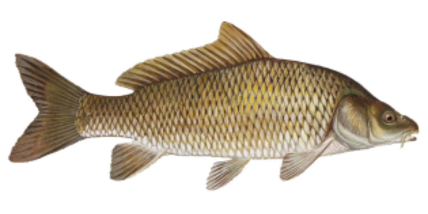 Carp-Common-Grass-Fish