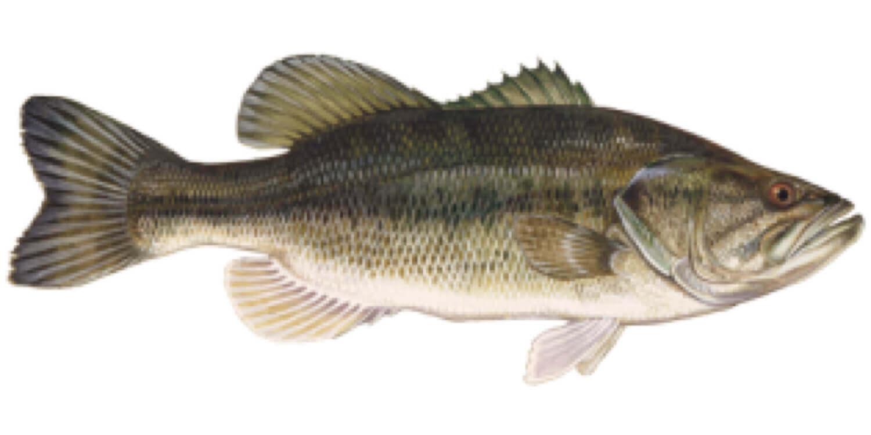 Largemounth-bass-fish