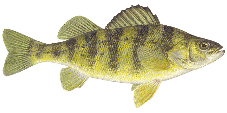 Perch-Fish