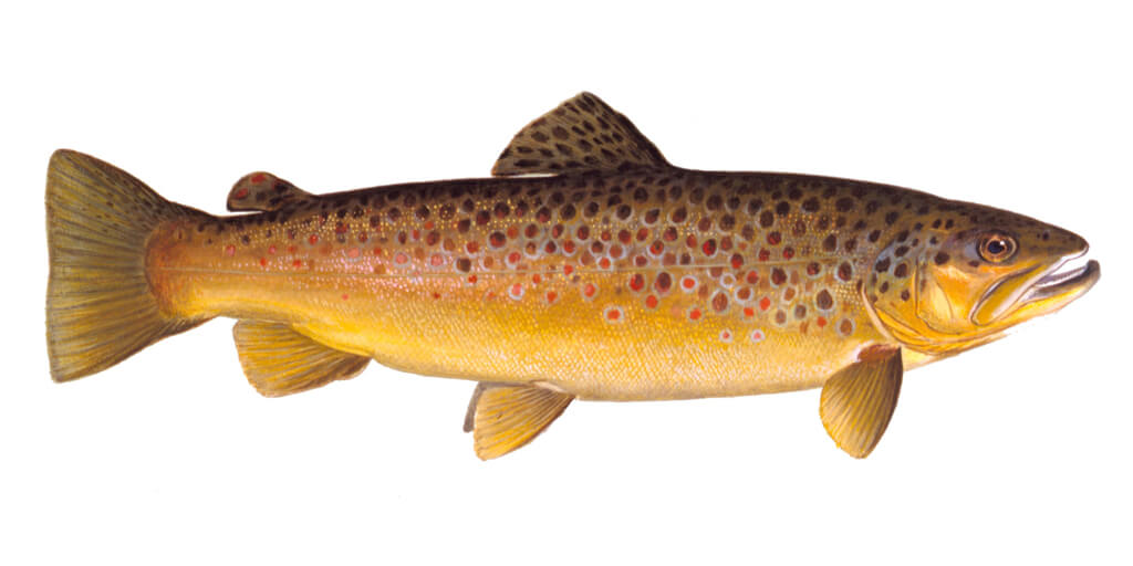 Brown-Trout-Fishing-Guide