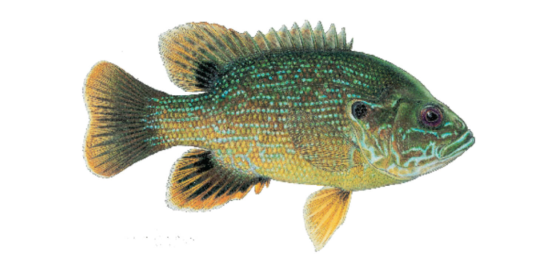Green-Sunfish