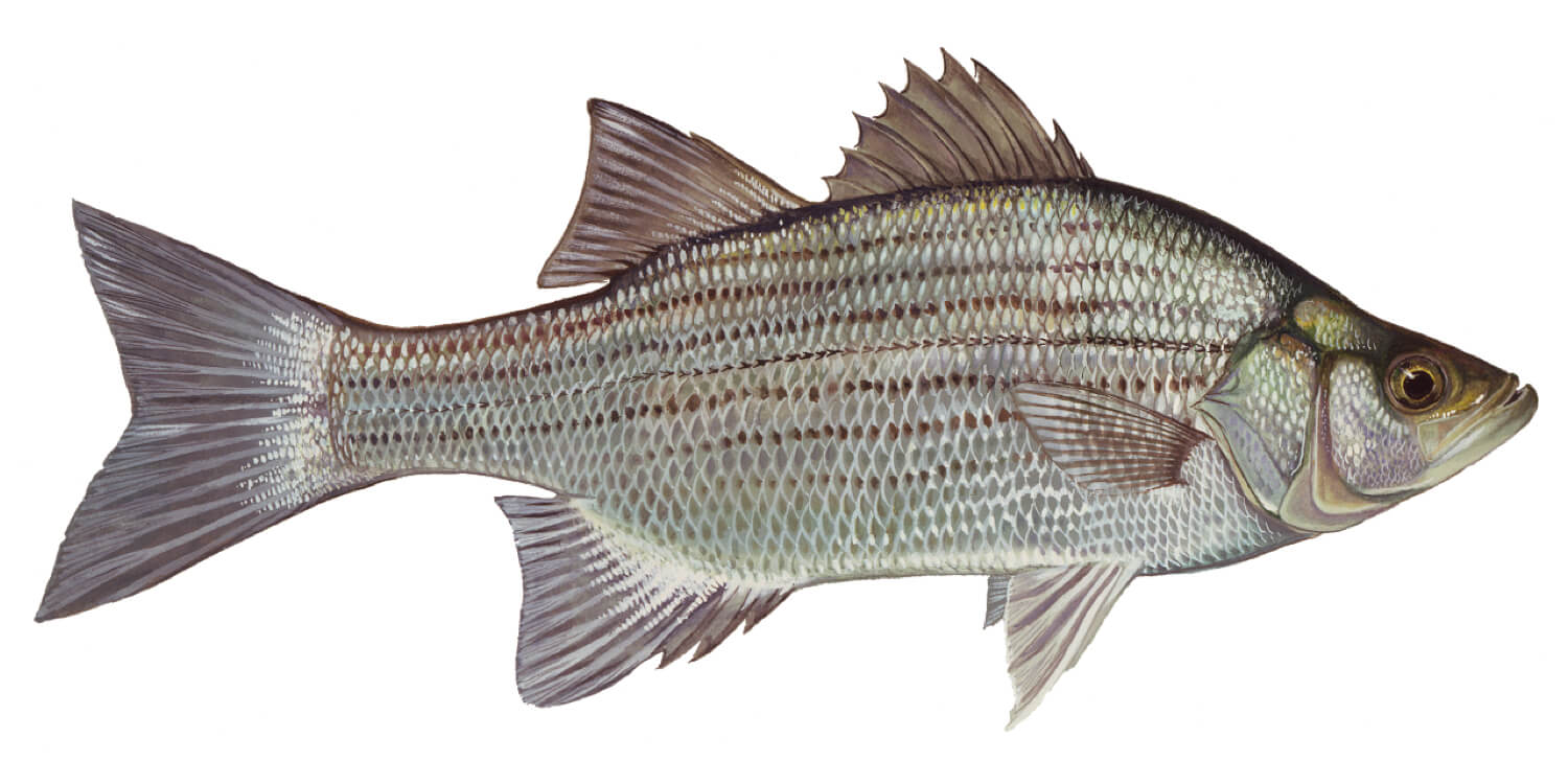 White-Bass-Fish