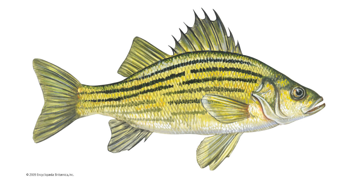 yellow-bass