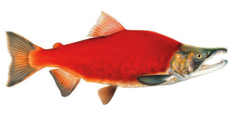 Kokanee-Salmon