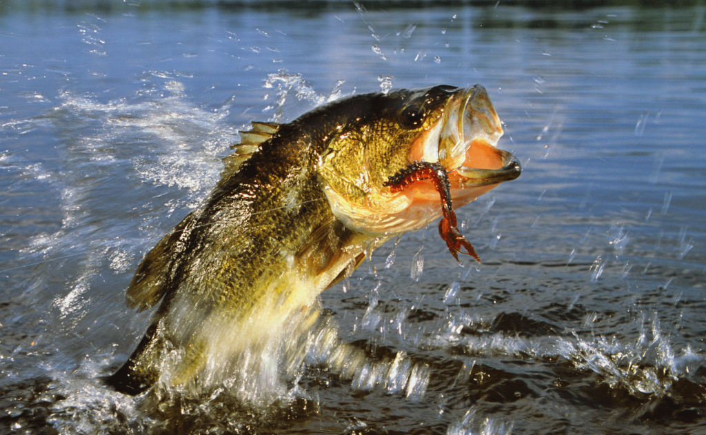 Bass-Large-Small-Mouth-Fishing-Guide
