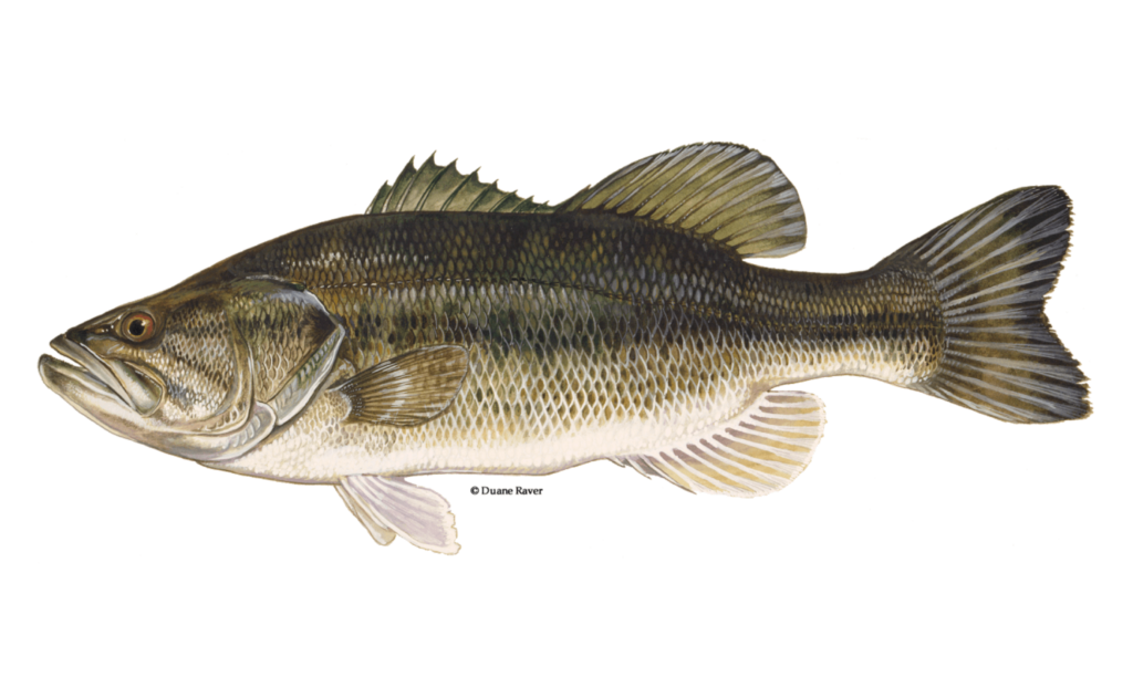 Largemouth-Bass-Fishing-Guide-How-to-Catch
