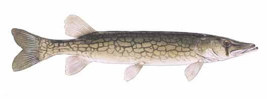 Chain-Pickerel-Fishing-Guide
