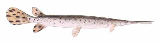 Longnose-Gar-Fishing-Guide