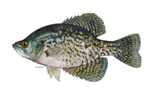 Black-Crappie-Fishing-Guide-How-to-Catch-1-1