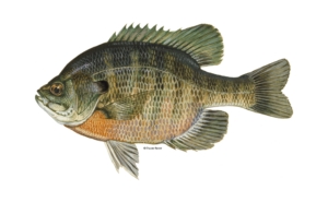 Bluegill-Fishing-Guide-How-to-Catch-1-1