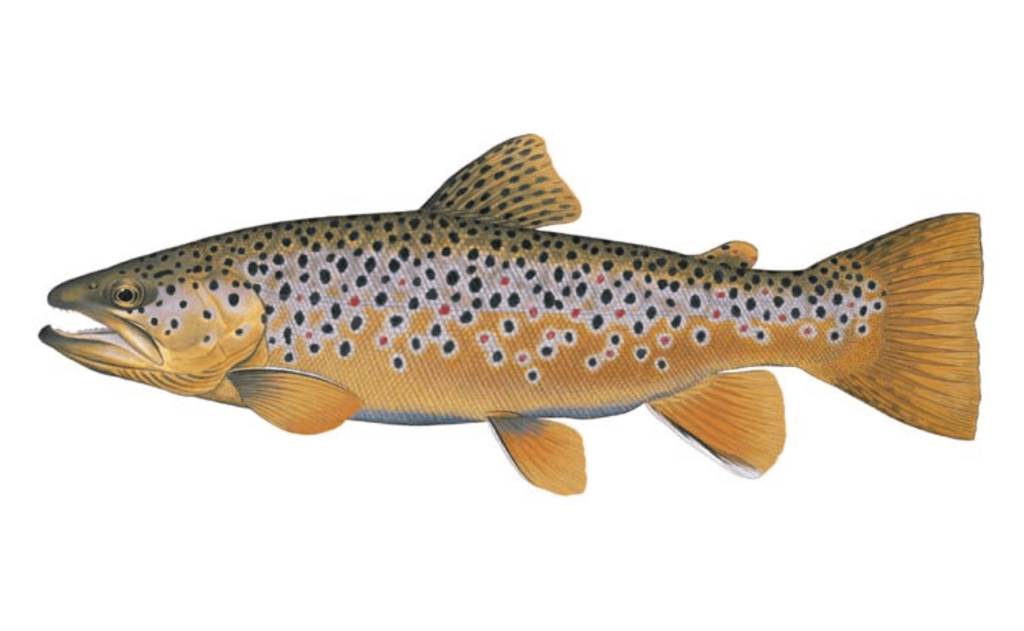 Brown-Trout-Fishing-Guide-How-to-Catch