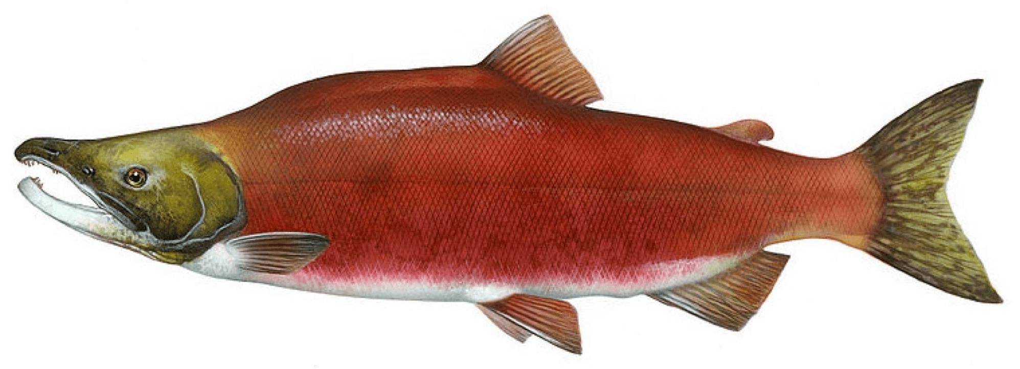 Fishing-Guide-How-to-Catch-Kokanee-Salmon