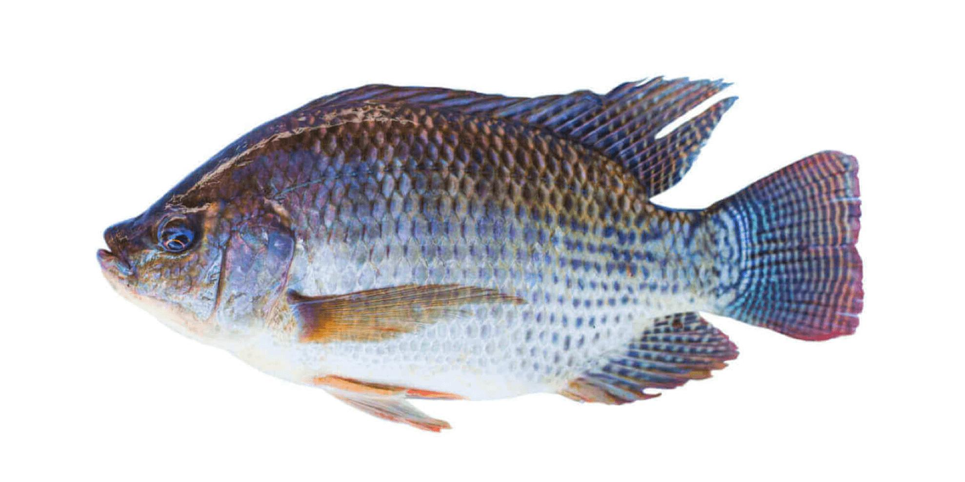 Fishing-Guide-How-to-Catch-Tilapia