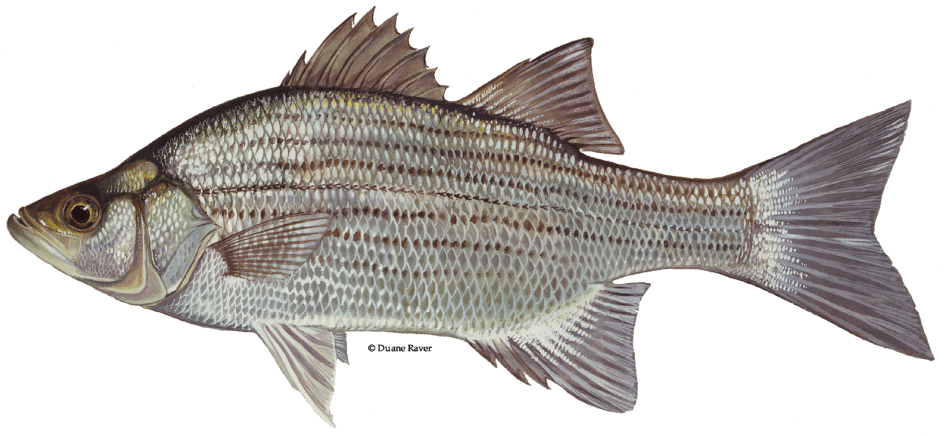 Fishing-Guide-How-to-Catch-White-Bass