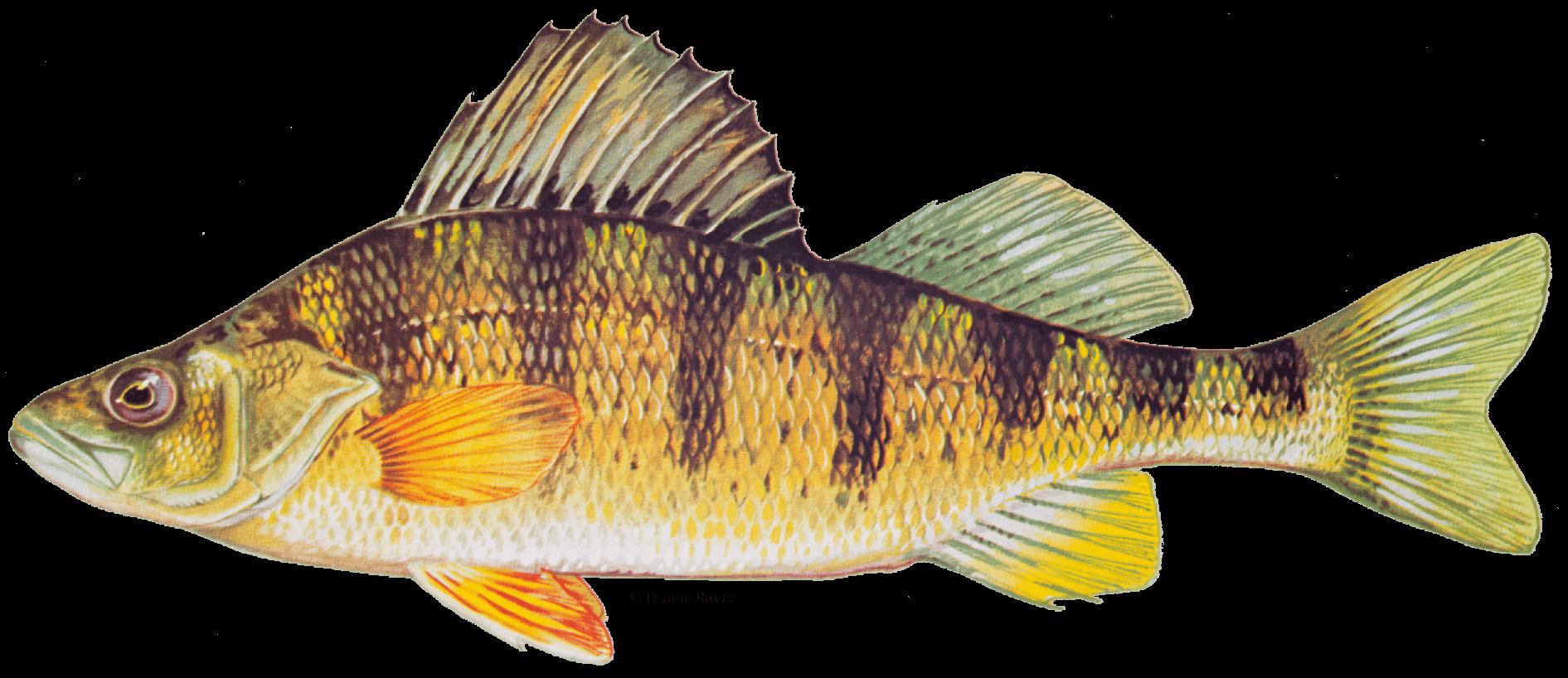 Fishing-Guide-How-to-Catch-Yellow-Perch