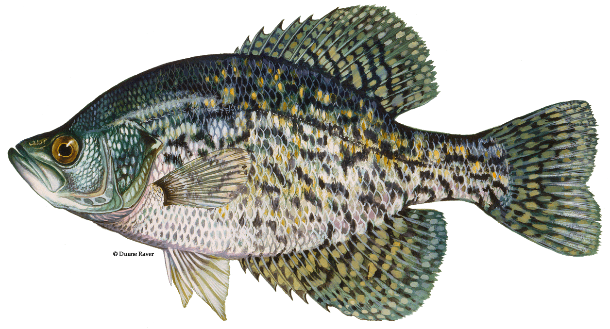 How-to-Catch-Black-Crappie-Fishing-Guide