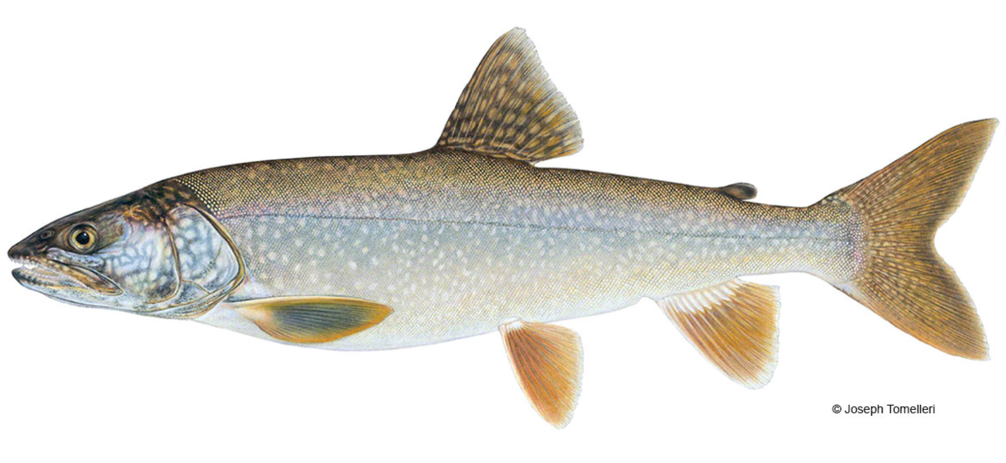How-to-Catch-Lake-Trout-1