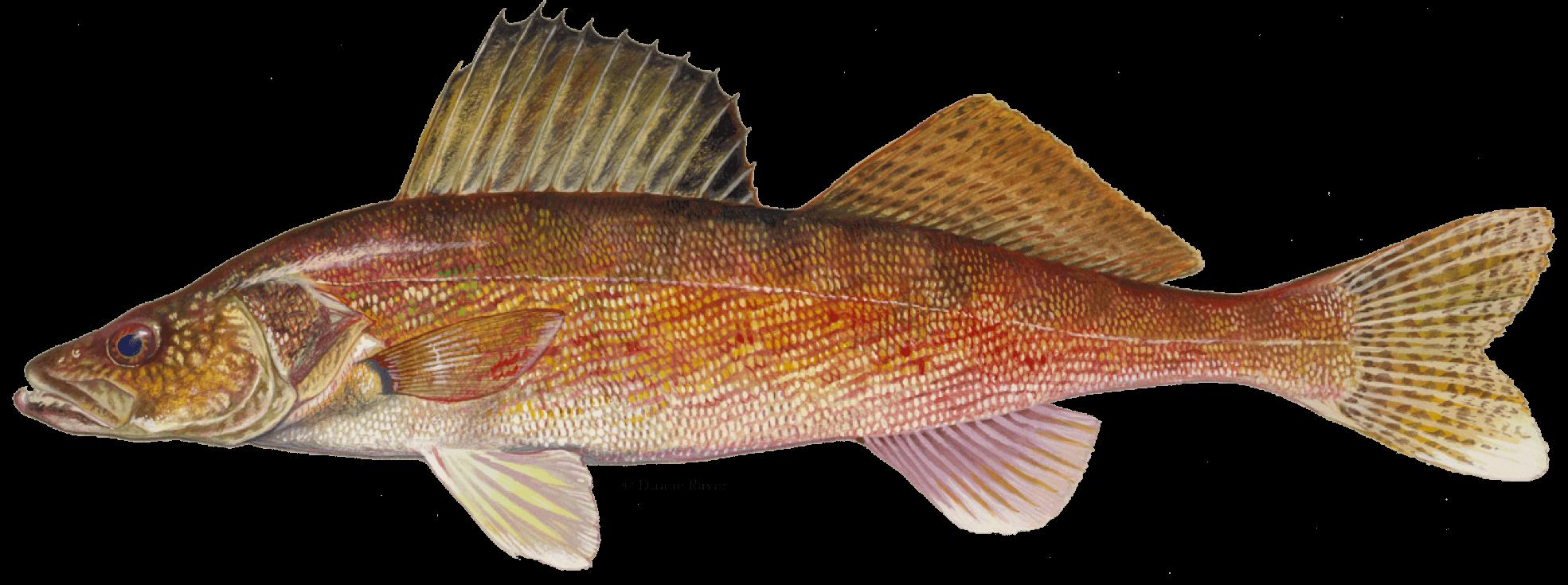 How-to-Catch-Walleye-Fishing-Guide