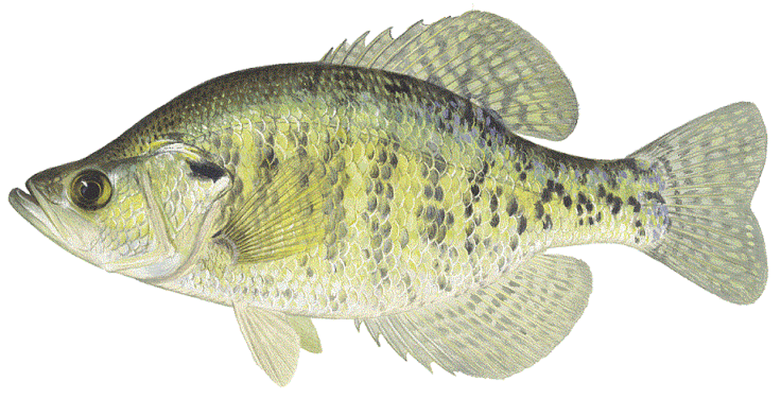 How-to-Catch-White-Crappie