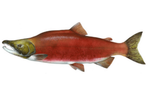 Kokanee-Salmon-Fishing-Guide-How-to-Catch
