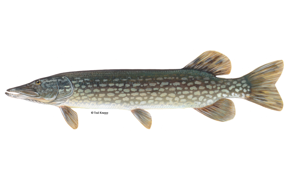 Northern-Pike-Fishing-Guide-How-to-Catch