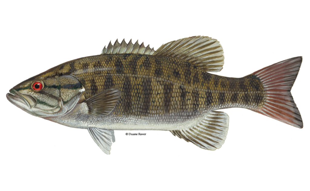 Smallmouth-Bass-Fishing-Guide-How-to-Catch