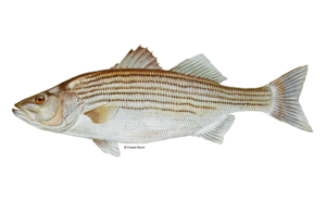 Striped-Bass-Fishing-Guide-How-to-Catch