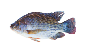 Tilapia-Fishing-Guide-How-to-Catch