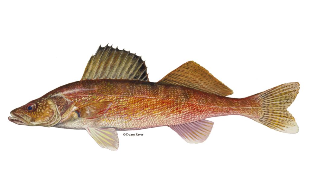 Walleye-Fishing-Guide-How-to-Catch