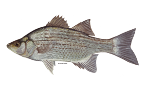 White-Bass-Fishing-Guide-How-to-Catch