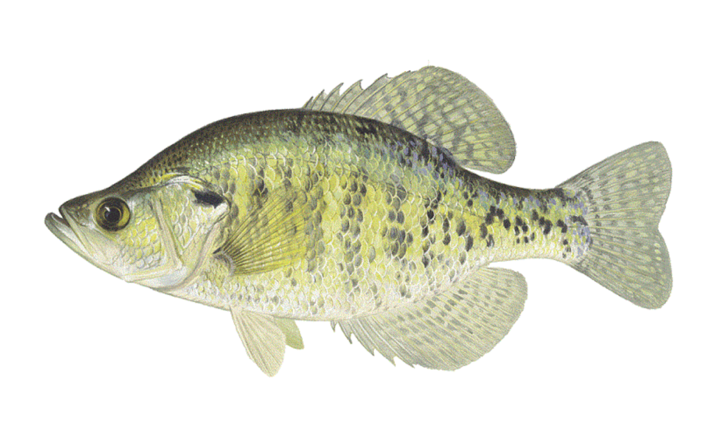 White-Crappie-Fishing-Guide-How-to-Catch-1-1