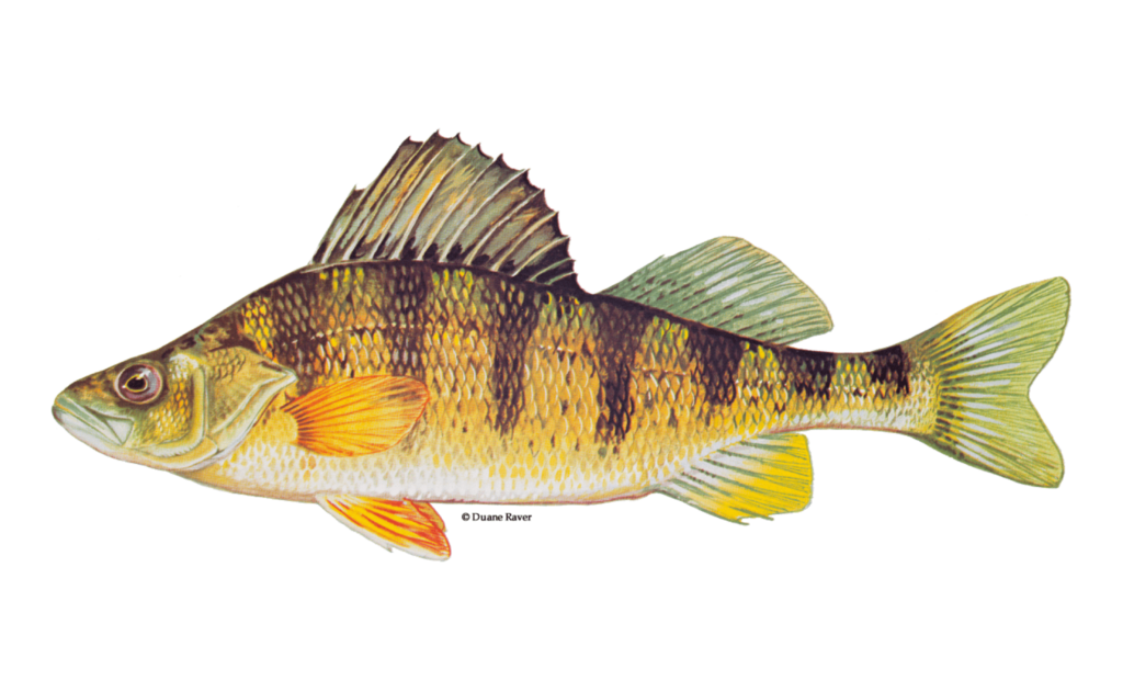 Yellow-Perch-Fishing-Guide-How-to-Catch